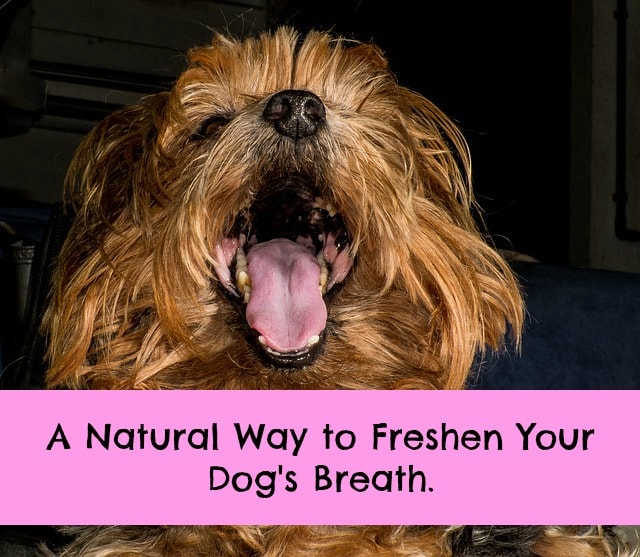 natural remedy dogs bad breath