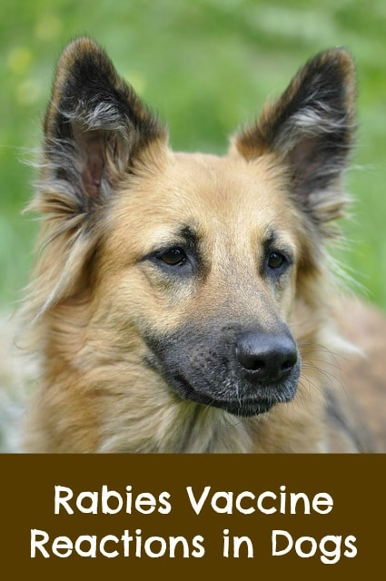 rabies vaccine reactions in dogs