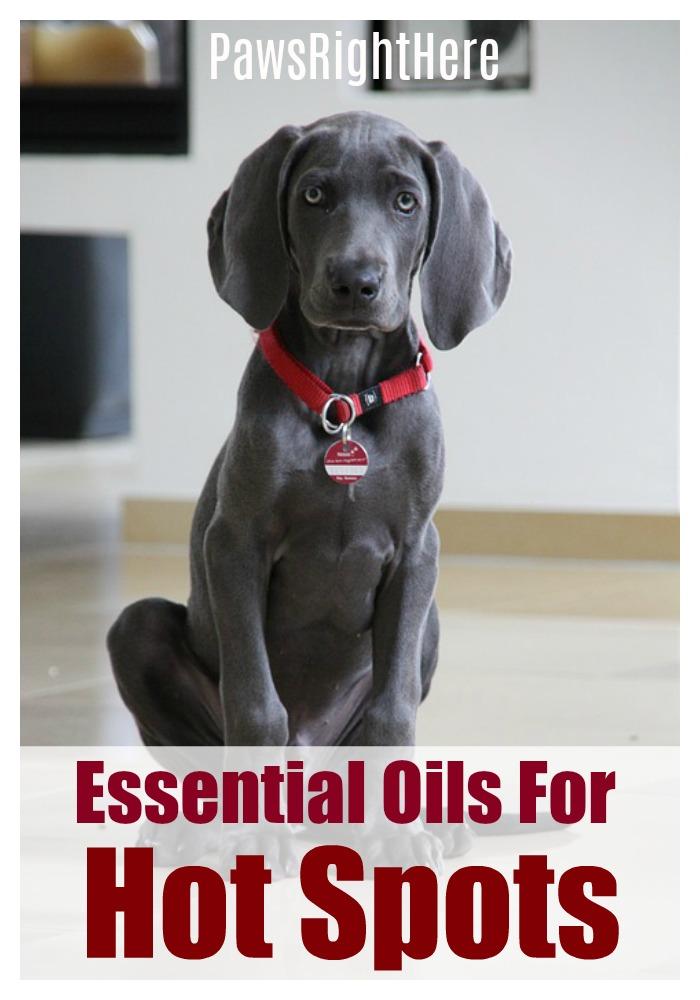 Essential oils for dog hot spots