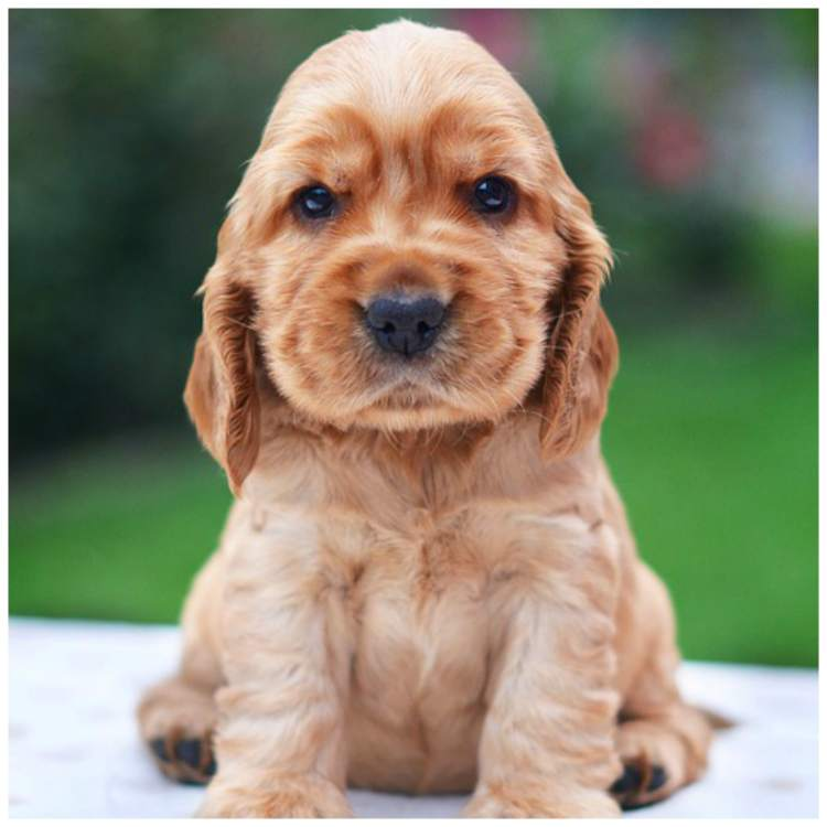 american cocker spaniel lifespan