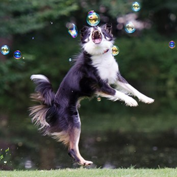 Dog jumps to catch a bubble in the yard.