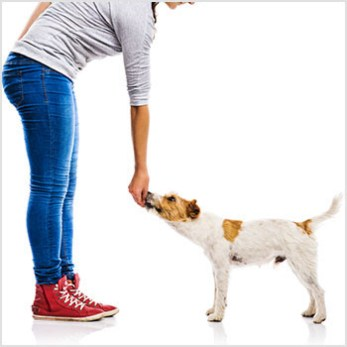 Girl training jack russell dog to come or touch..