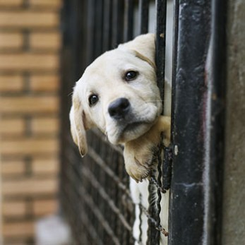 Dog looking out of his cage at a shelter.