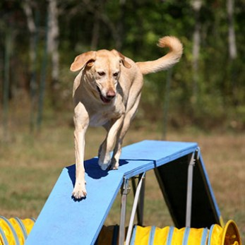 Dog going over the dogwalk on an agility course.