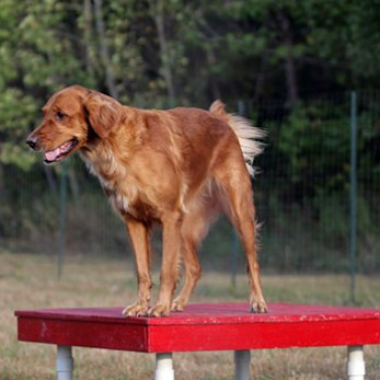 Dog waits for his next command at the pause table on an agility course.
