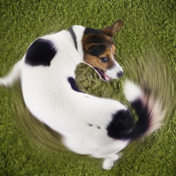 Small dog chasing his tail on the grass.