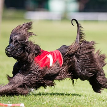 Brown Dog Running Competitively With Race Bib