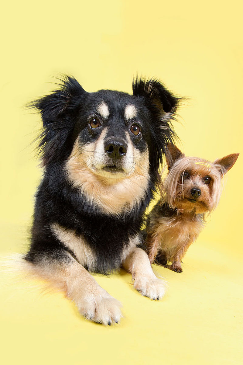 two rescue dogs on yellow background