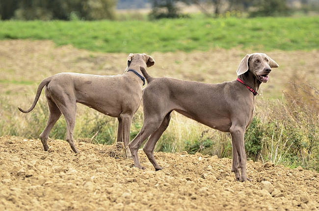 Weimaraners in the field