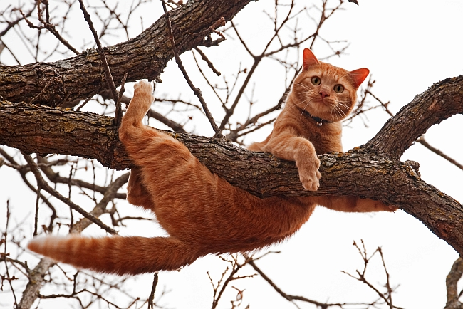 Why Do Cats (almost) Always Land on Their Feet?