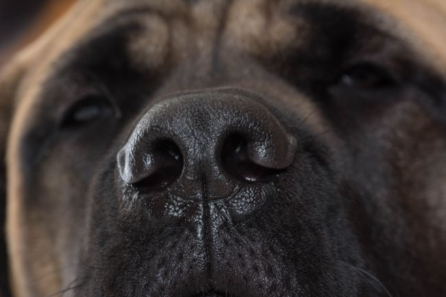 close-up of a dog's nose