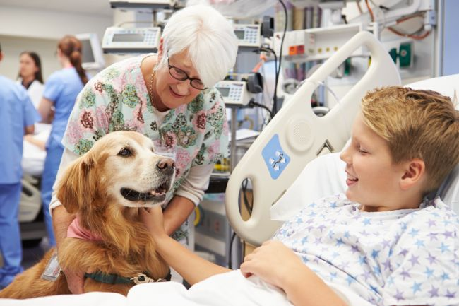 Golden Retriever working as a therapy dog