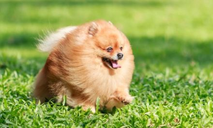 Pomeranians: Why This Small Breed is a Great Pet