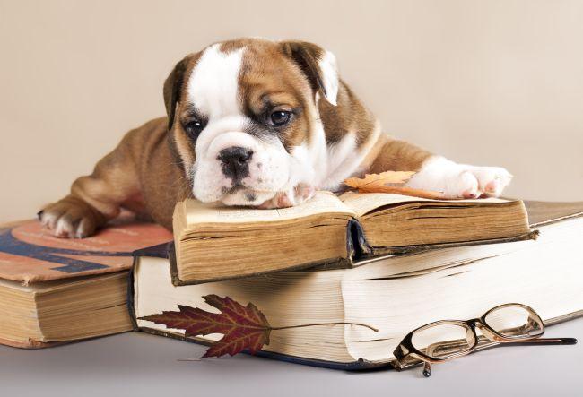 bulldog puppy lying down on books