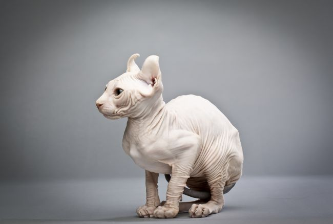 wrinkly hairless cats elf domestic feline pet