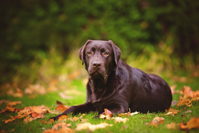 Chocolate Labrador Retriever lying down