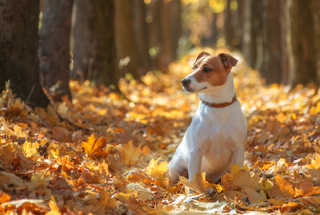 Jack Russel Terrier sitting in autumn leaves