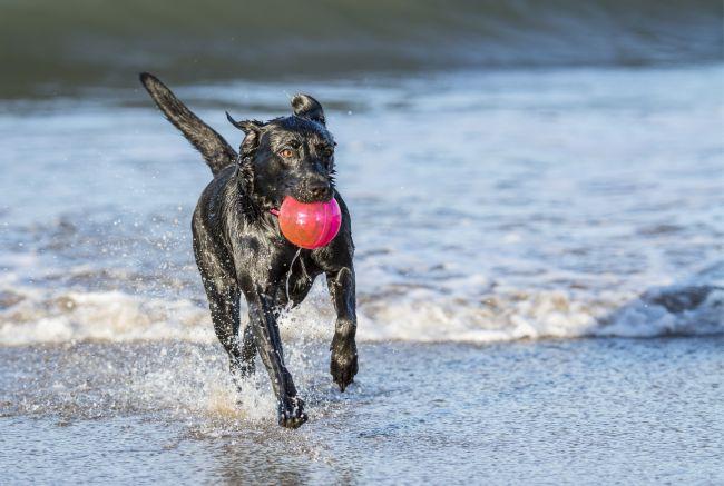 labrador retriever running on the beach