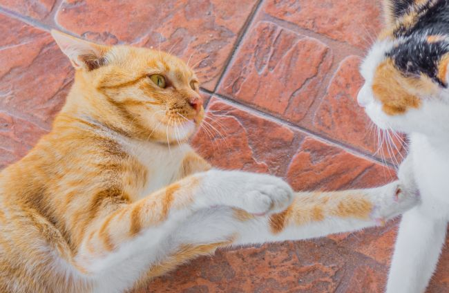 Cat Fights: 5 Tips for Keeping the Peace