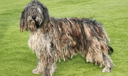 Corded Coat Dog Breeds