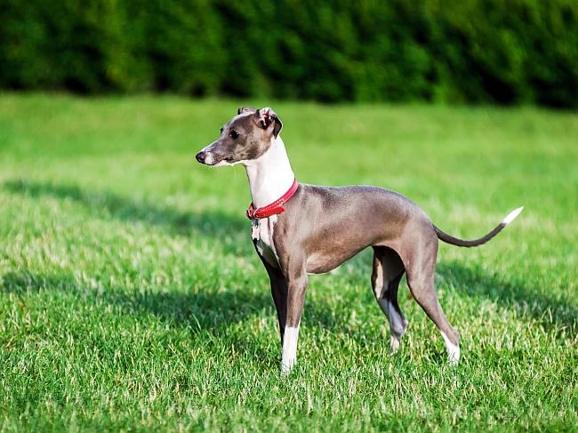 15 Shorthair Dog Breeds