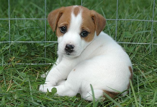 jack russell puppy in pen