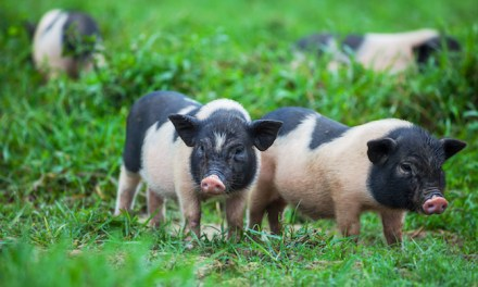 Reasons to Own a Pot-Bellied Pig