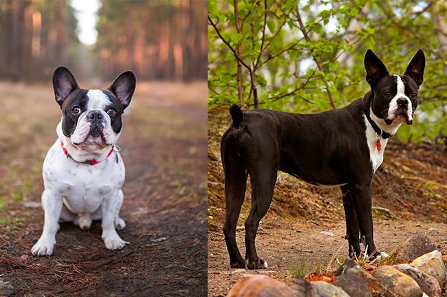 French Bulldog (left) & Boston Terrier (right)