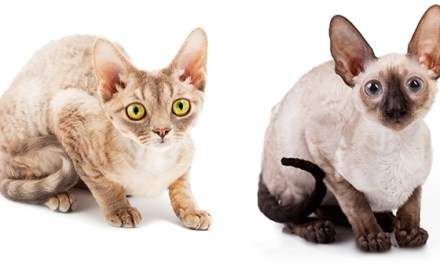 Devon Rex and Cornish Rex Cats
