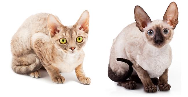 Devon Rex (left) & Cornish Rex (right)