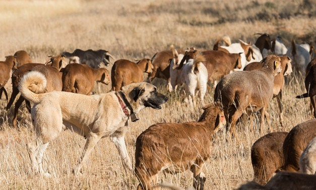 Dogs in Namibia Saving Wild Cats