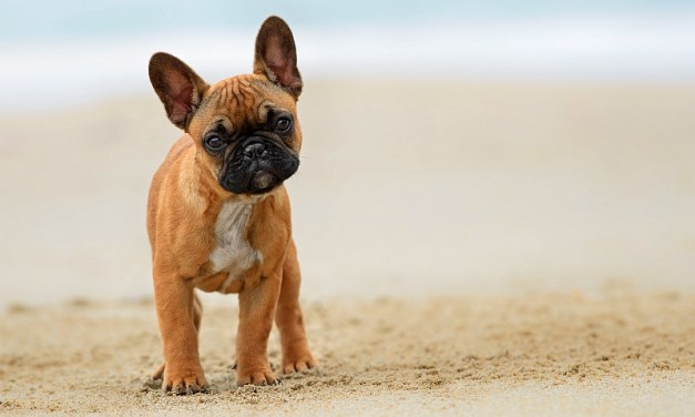 7 Reasons to Own a French Bulldog