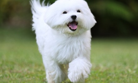 Facts About Maltese Dogs