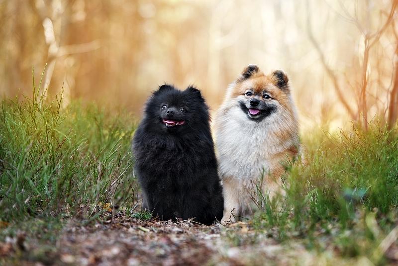 Spitz Dog Breeds