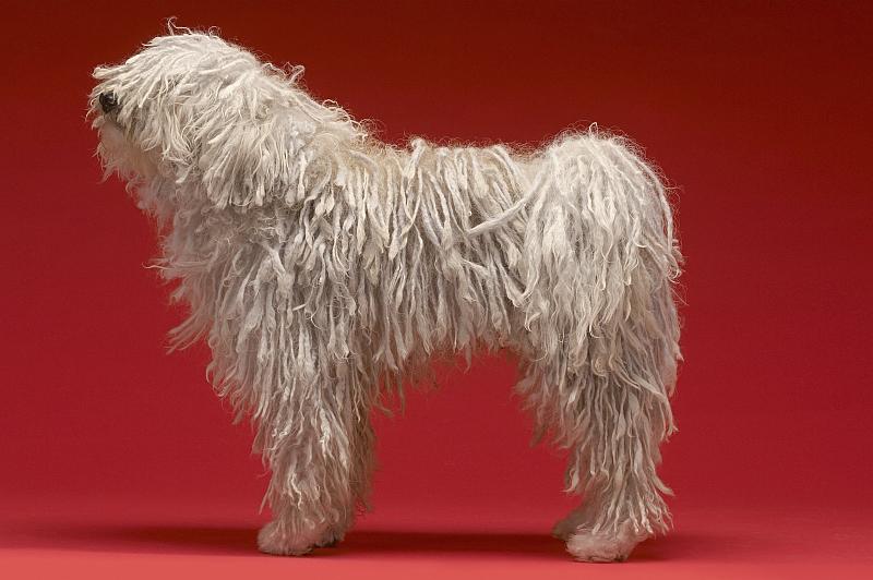 Komondor - Hungarian Sheepdog
