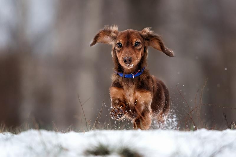 Dachshund running in snow