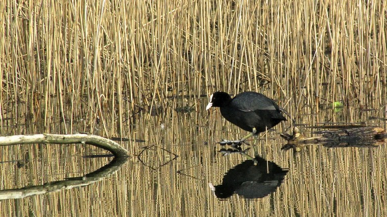 Coot in reeds