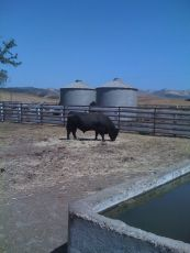 Bull enjoying the heat in the Santa Ynez Valley area of California.