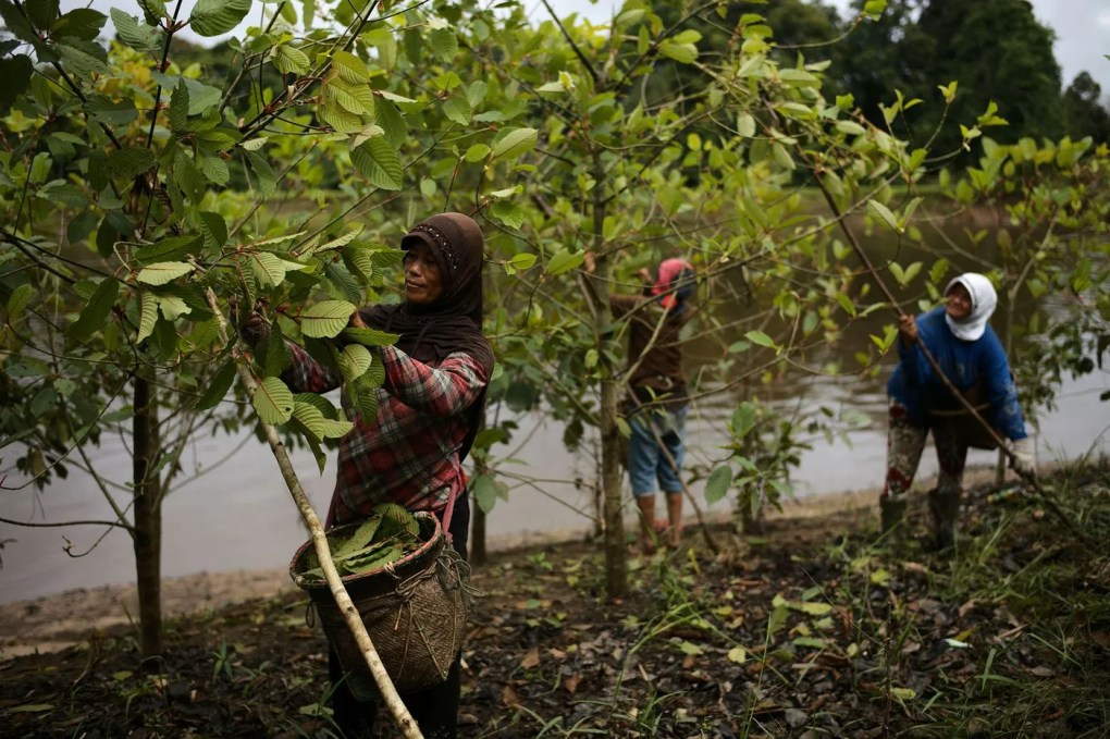 workers harvesting kratom