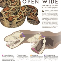 Snake Anatomy Diagram How To Use A Venn Open Wide Lindsey Kernodle Artwork