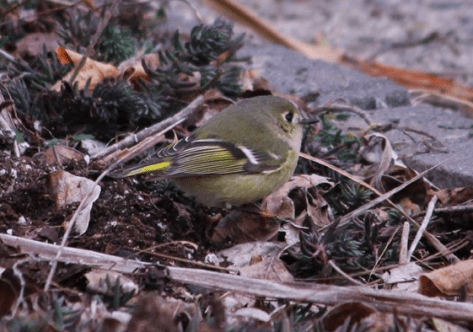 Ruby-crowned Kinglet, Cindy McGill photo