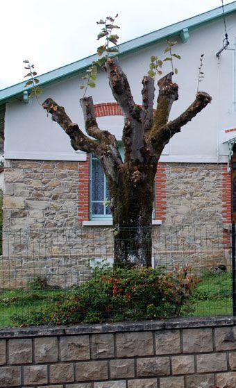 taille-drastique-arbre