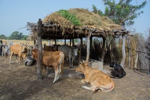 Vaches à l'étable à Vélingara