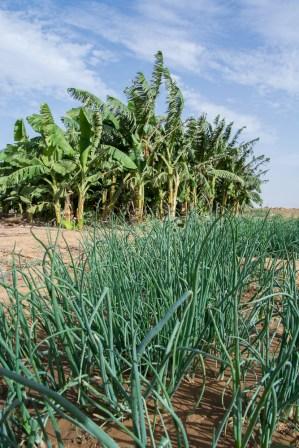 Au Sénégal à Matam - au premier plan nous découvrons les oignons dans la pépinière et en arrière plan la bananeraie !