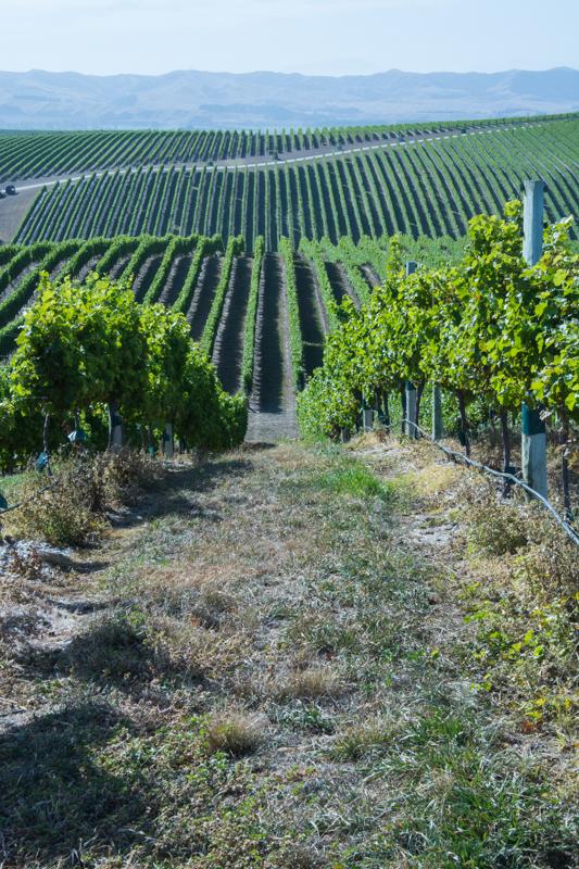 La taille des branches basses et des herbes entre les vignes  sont assurés par différents animaux: agneaux, cochons miniatures, poules... - En savoir plus : http://paysansdavenir.com/yealand-en-nouvelle-zelande-un-vignoble-pas-comme-les-autres/