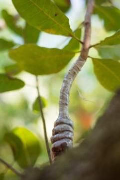 Exemple d'une greffe sur un anacardier de Binh Phuoc - http://paysansdavenir.com/plongee-au-coeur-de-la-filiere-noix-de-cajou-de-binh-phuoc-vietnam/