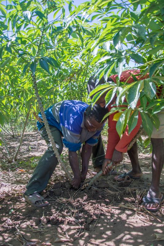 Récolte du manioc!