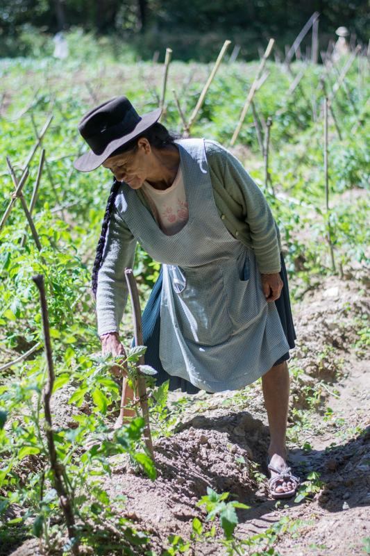 Projet ONG IPTK à Sucre - La femme nous montrant ses pieds de tomate tout raplapla ! - http://paysansdavenir.com/rencontre-avec-lagronome-emiliana-reynaga-travaillant-pour-long-iptk-pres-de-sucre/