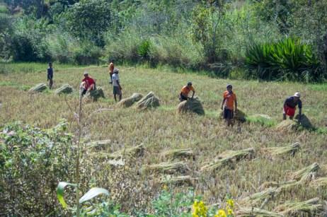 La récolte de riz: étape 2: Les saisonniers chargent les paquets de riz sur leur dos