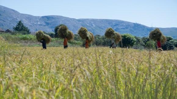 La récolte de riz: étape 3: les saisonniers transportent le riz jusqu'au lieu de battage